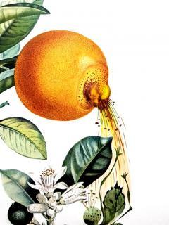 Salvador Dal Salvador Dali Erotic Grapefruit Original Hand Signed Lithograph - 1049391
