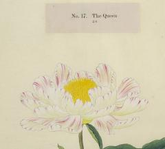 The Queen Japanese Peony - 2080698