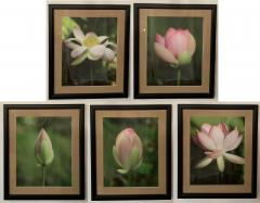 Tulip Blooming Stages Photography Set of Five Matted Framed - 1592512