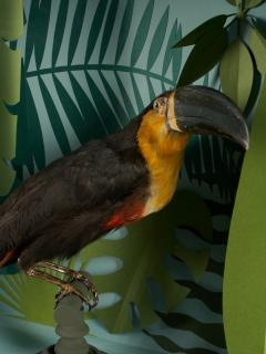 Vintage Toucans Taxidermy Selection in Designer Display Cases  - 2024277