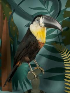 Vintage Toucans Taxidermy Selection in Designer Display Cases  - 2024381