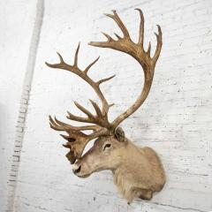 Vintage caribou shoulder taxidermy mount 1969 - 1843709