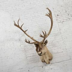 Vintage caribou shoulder taxidermy mount 1969 - 1843710