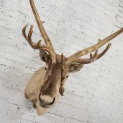 Vintage caribou shoulder taxidermy mount 1969 - 1843711