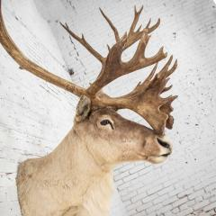 Vintage caribou shoulder taxidermy mount 1969 - 1843714
