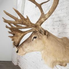 Vintage caribou shoulder taxidermy mount 1969 - 1843718