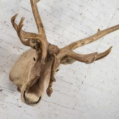 Vintage caribou shoulder taxidermy mount 1969 - 1843719