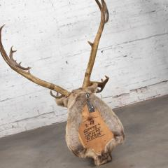 Vintage caribou shoulder taxidermy mount 1969 - 1843720