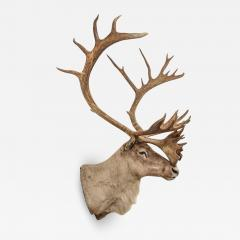 Vintage caribou shoulder taxidermy mount 1969 - 1845847